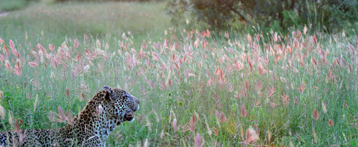 The Marthly male leopard in the long grass of a summer's evening