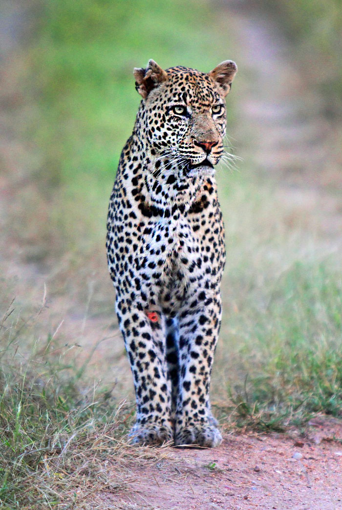 The Marthly male leopard with a fresh wound in his right leg.