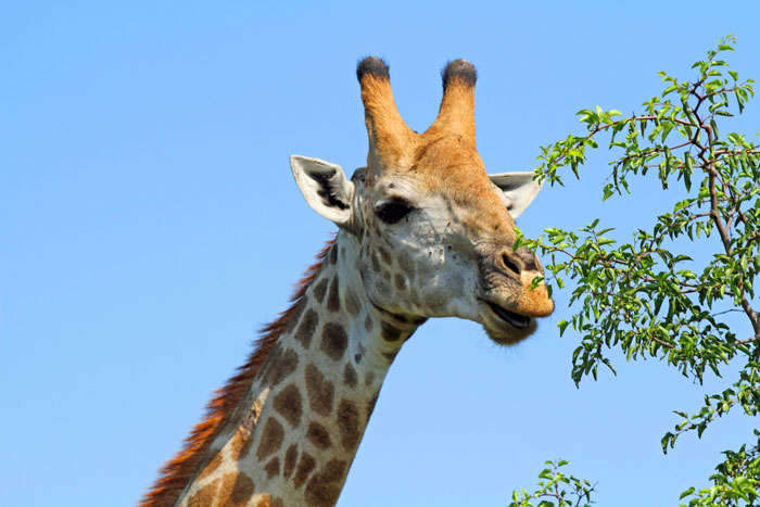 A male giraffe browsing on a buffalo thorn.