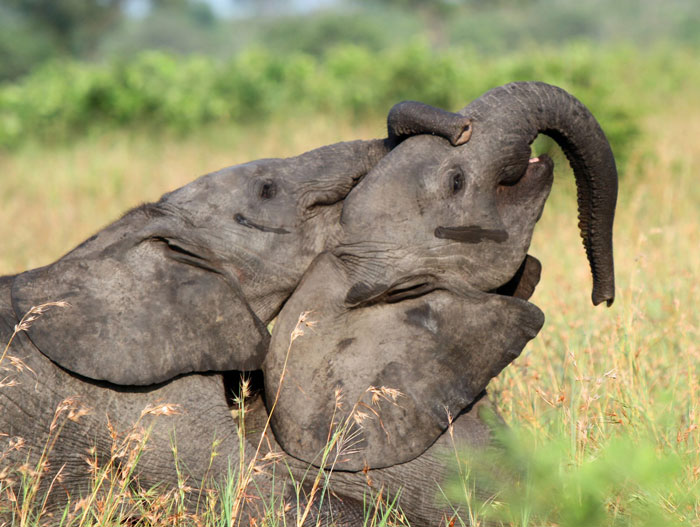 Two elephant calves engage in playful antic.