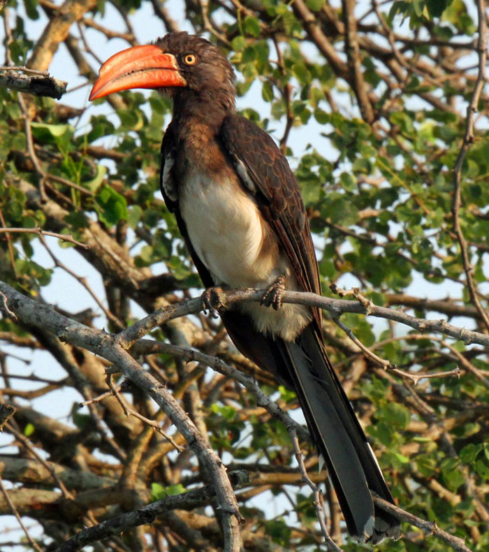 An unusual bird for the area, a crowned hornbill.