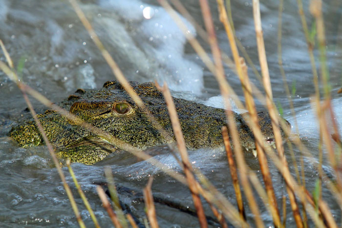 A beautiful shot of a crocodile lurking in the reeds.