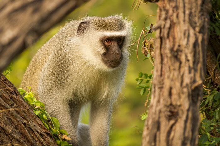 This vervet monkey was a foreigner, recently chased off by the local Varty Camp troop. He was looking around him nervously as the troop made its resence known in the treetops nearby. f2.8, 1/640s, ISO 160.