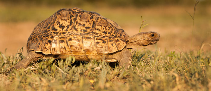 A leopard tortoise hustles across an open clearing one evening. One of two tortoise species found on Londolozi, the leopard tortoise is the most widespread South African tortoise, and it's largest. f6.3, 1/800s, ISO 200.