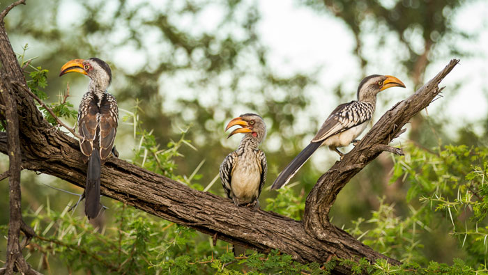 A trio of yellow billed hornbills settles in for the evening. f2.8, 1/640s, ISO 320.