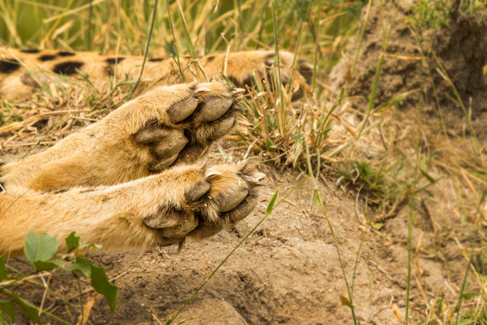The paws and claws of a cheetah. Often likened to a sprinters spikes, they help with traction when running at high speeds. f5.6, 1/800, ISO 320.