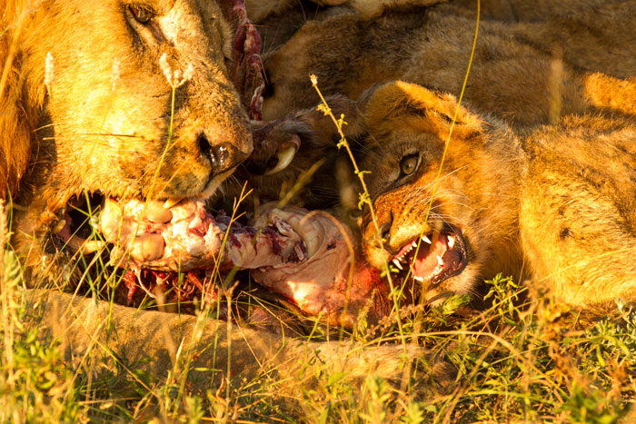 """I'll fight you tooth and claw"" certainly bears relevance here, as father and son squabble over some of the remains of the wildebeest carcass. A lethally sharp claw of the big male can be seen in the centre of the picture, while the youngster bares his not-yet-formidable set of teeth. The male cubs are already trying to establish dominance around kills. f6.3, 1/200s, ISO 500."