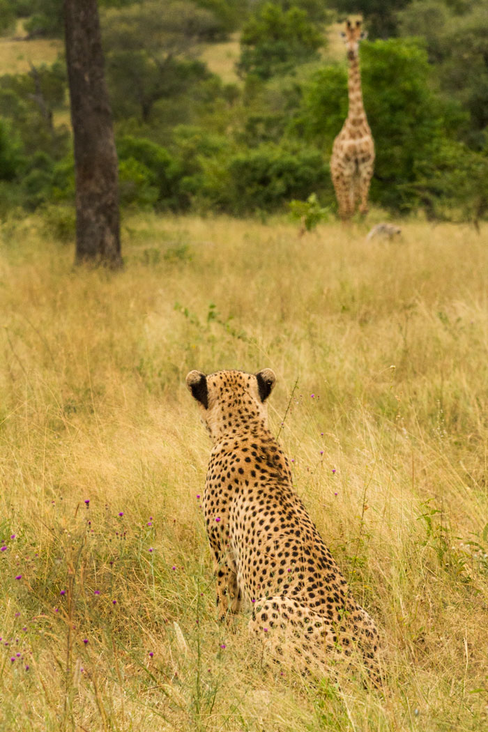 A stare-down between the fastest land mammal and the tallest. Neither the giraffe nor the cheetah have much to fear from the other, but both kept a wary eye on the other for quite some time. f10, 1/160, ISO 2000.