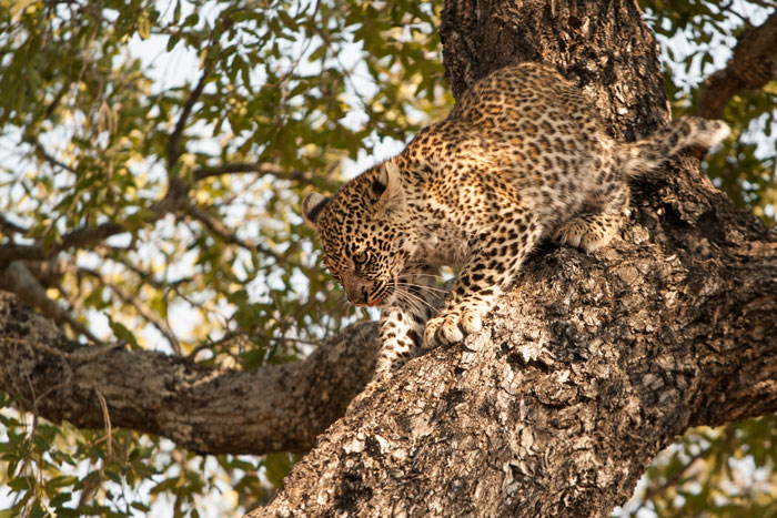 Most dismounts from trees are relatively awkward affairs while the cubs are young...