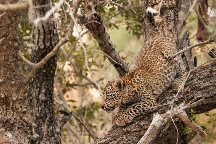 In this sighting, the cub had been treed by a hyena that rushed in to steal its mothers kill. Leopard cubs are extremely vulnerable to hyenas during their first few months of life, as their climbing skills have yet to start emulating that of their mothers.