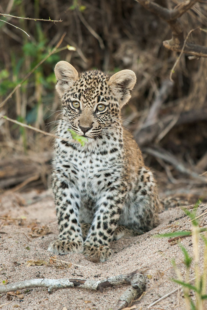 The first time I ever saw the cub was about 2 months after it was first found by Freddy and Talley. Completely unfazed by the presence of the vehicle it sat out in the open, just staring at us and melting our hearts.