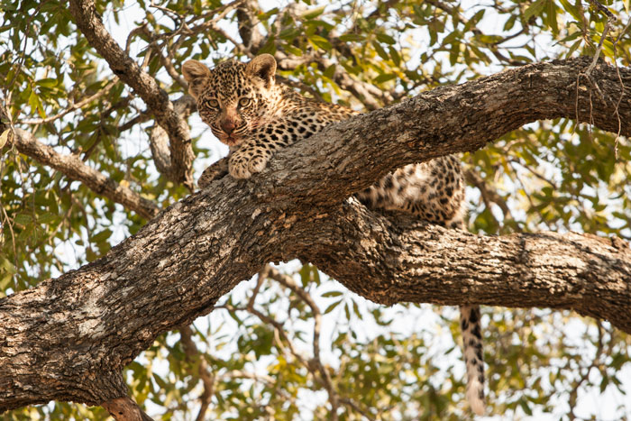 The blood around its mouth and on its whiskers show of a recent feed. Leopard cubs begin eating meet at between 2-3 months, and here the cub had been feeding on a duiker that its mother had  hoisted into the boughs of a jackal berry tree.