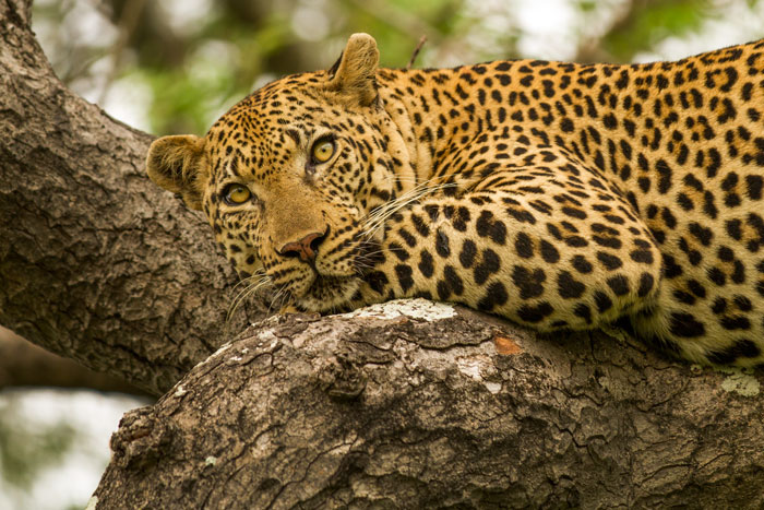 His belly full of giraffe meat, the Gowrie male reclines languidly on a marula branch. f2.8, 1/800s, ISO 320, @ 200mm.