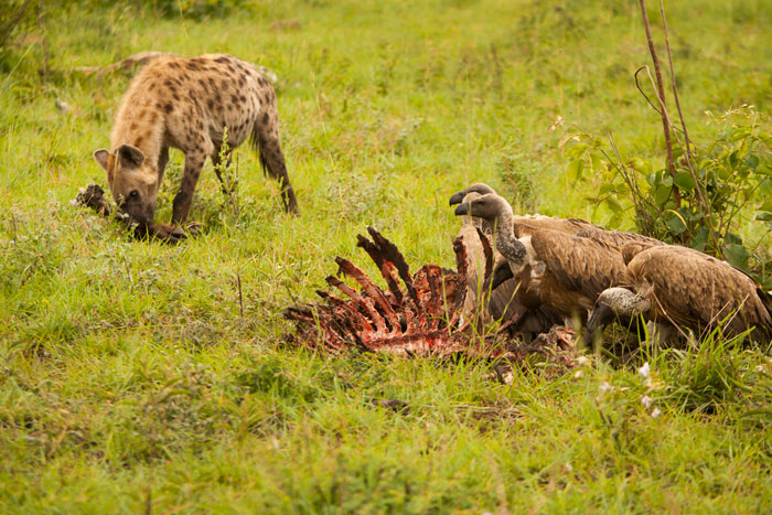 The aftermath. The Sparta Pride had passed through the night before, leaving a wildebeest ribcage and some bones behind. Full-bellied, they were lying half a kilometre away, leaving the hyenas and vultures to fight it out for the scraps.
