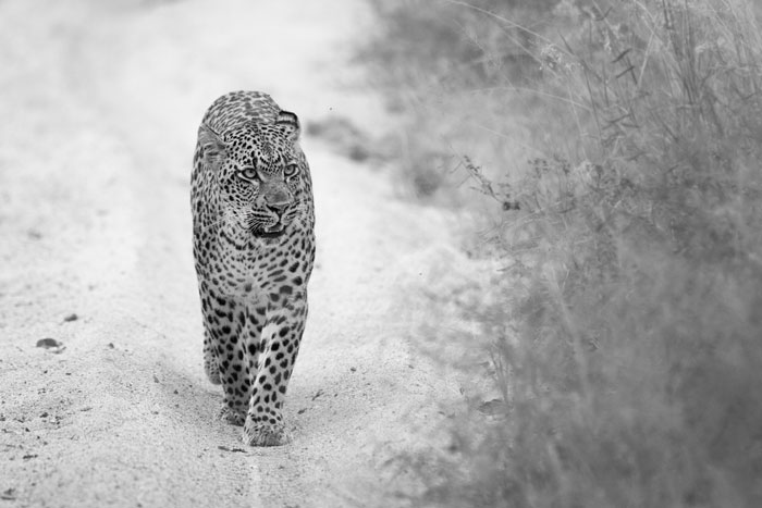The Tamboti female leopard in the Maxabene riverbed. She had had her kill robbed by the Mashaba female the night before, and we think she was on her way back to a den-site, as matted fur around her teats told us that she had been nursing cubs. A yet, no-one has seen the cubs and they are probably too young to be viewed by the vehicles, but we are holding our collective breaths...
