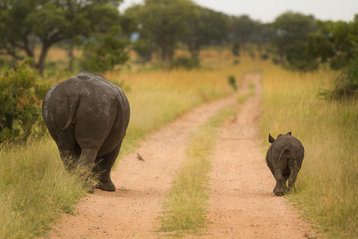 Little and large. A white rhino cow and calf stroll down the road in Londolozi's southern grasslands.