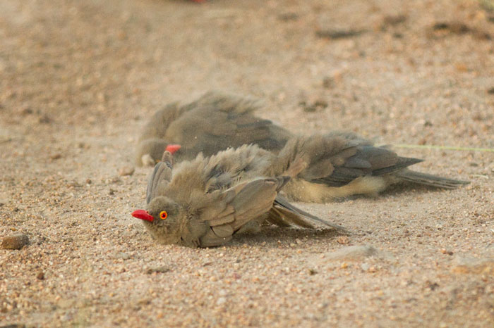 Similar to the yellow-billed hornbill dust-bathing picture of a few weeks ago, some red-billed oxpeckers engage in similar behaviour.