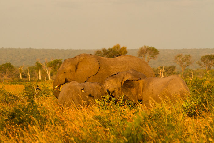 Elephants feed on Red Grass (Themeda triandra) in the Open Areas while Barn swallows flit amongst them, snatching up grasshoppers and other insects disturbed by the enormous pachyderms.