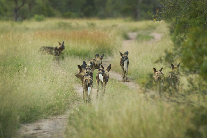 Some of the pack of 17 wild dogs trot ahead of us on the evening's hunt.