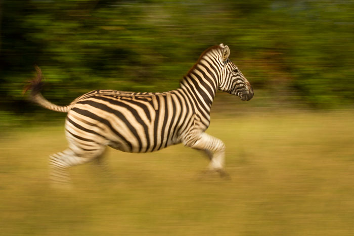 A zebra in high spirits runs from the vehicle near the Londolozi airstrip.