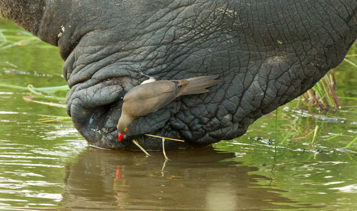 A red-billed oxpecker uses a white rhino as a convenient perch from which to grab a drink. These birds will often use large wallowing herbivores like rhinos, buffalo and hippopotamuses as water access points!