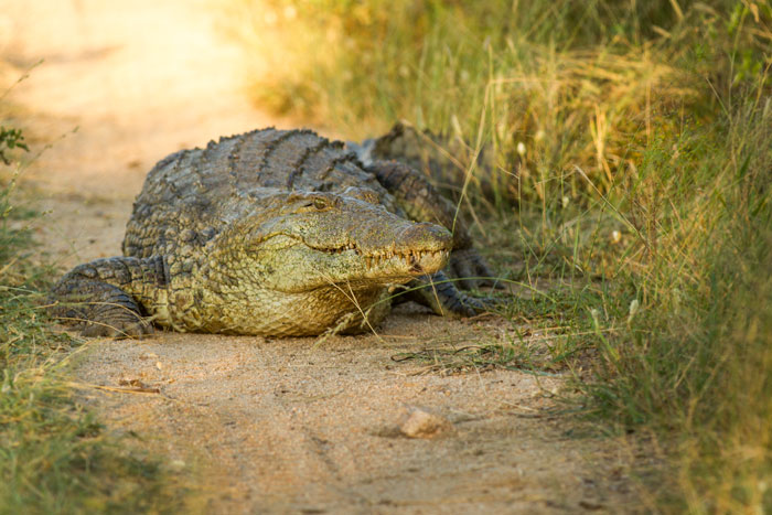 Another crocodile pic, this time out of the water. Crocodiles are ectotherms, meaning that rely on the outside temperature to regulate their body temperature. Cooler conditions recently might have lead to lowered water temperatures, and prompted this croc to warm him- or herself up on the road.