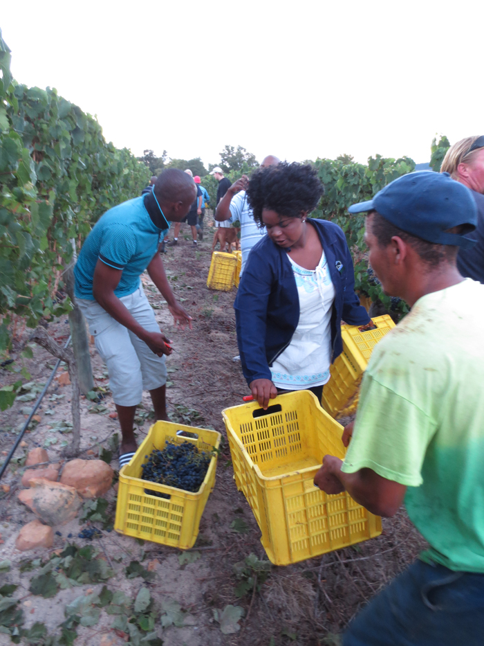 The crew helping the Waterford staff with the grape picking