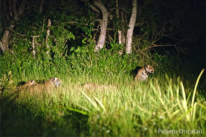 Four Jaguars Together