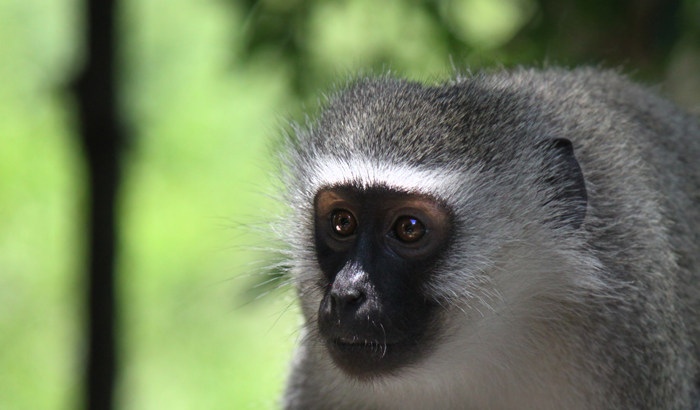 A vervet monkey on the deck at Tree Camp
