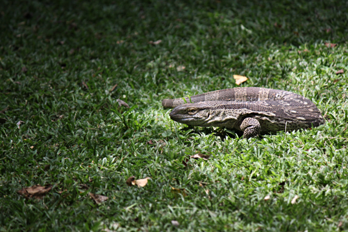 A monitor lizard on the grass in camp