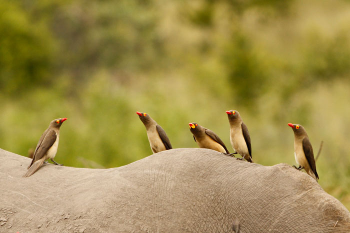 Not the greatest photo, but if one looks closely, you can see a rare yellow-billed oxpecker in the middle of it's red-billed cousins. Perched on the back of a white rhino, we were delighted to see this bird who is hardly ever encountered at Londolozi.