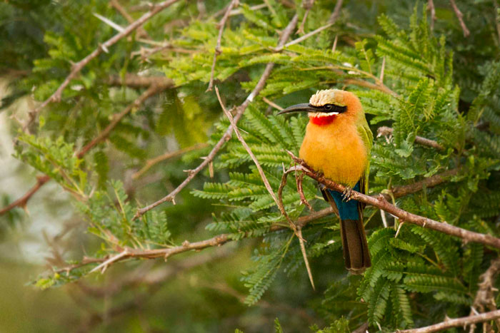 A whitefronted bee-eater, one of Londolozi's most colorful birds.