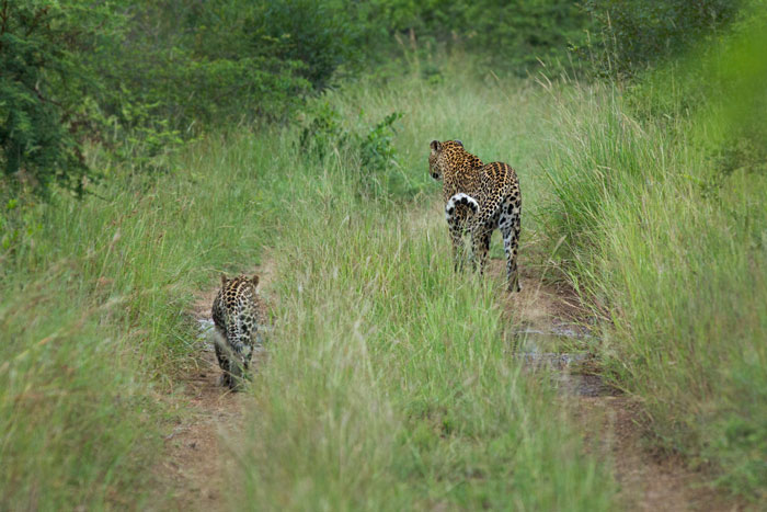 The Vomba female and her cub walk down the road on a drizzly morning. They ducked down towards a drainage line shortly after this where we couldn't follow with the Land Rover