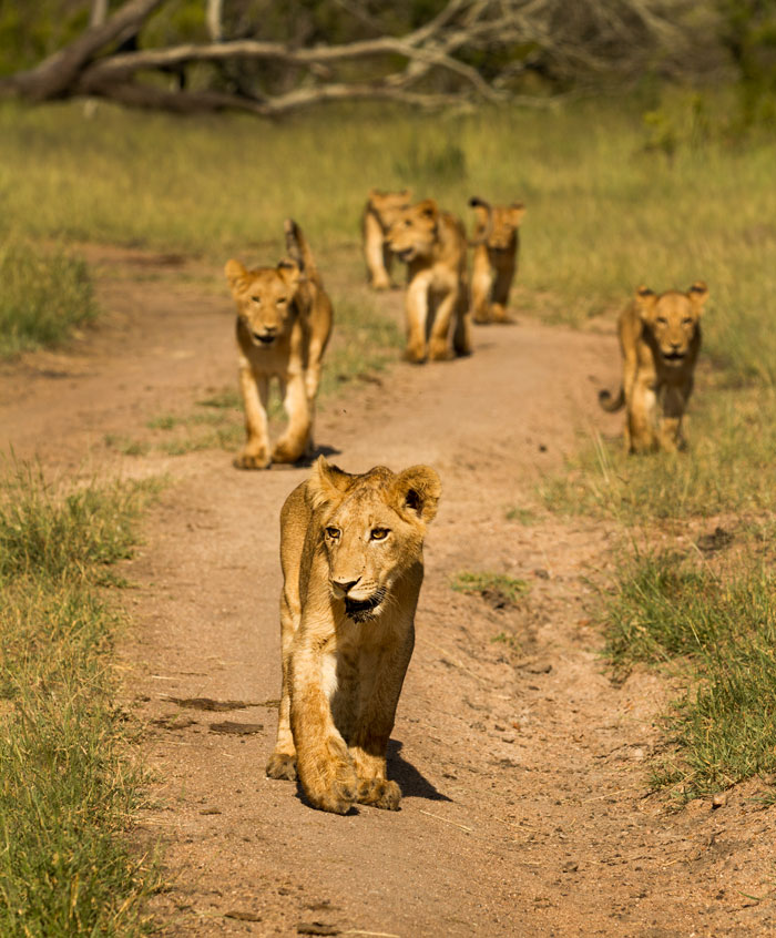 The Sparta pride cubs continue to grow. Here the skinny little things follow their mothers on a hot morning through the Southern grasslands of Londolozi, looking for some shade to rest up in during the day.