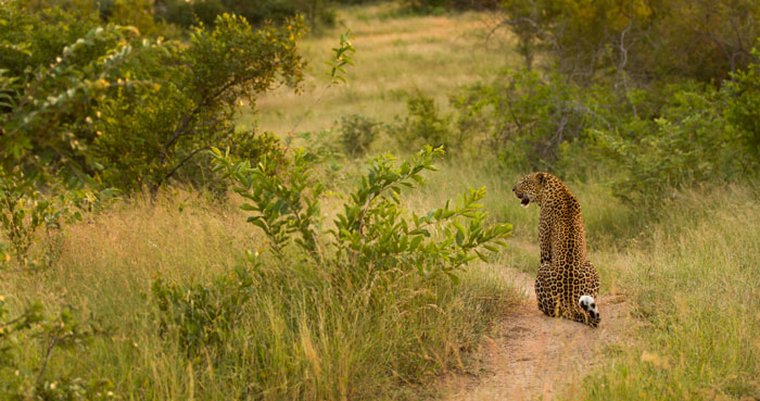 This is soon after Mashaba missed the guineafowl. She had heard some impala snorting just over the hill and gazed in their direction for awhile before deciding it was a no-go as they were too far out in the open.