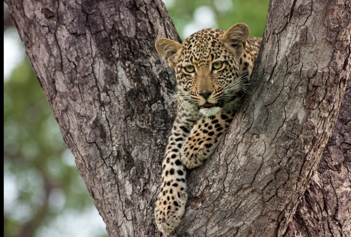 The Ximpalapala Cub in December 2012 - Photographed by Kate Neill