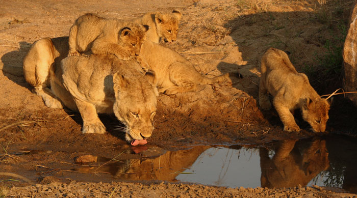 Happier times for the pride. All 8 cubs were alive at this time (Winter, 2011), and early one morning in the Sand River, one of the cubs decided it would have a better view of its reflection from its mother's back.