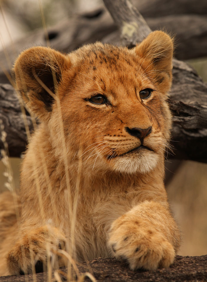 One of my favourite cub photos; the pride was playing on the rocks near Marthly Pools, and one of the little females came to lie near us with this wonderful expression on her face.