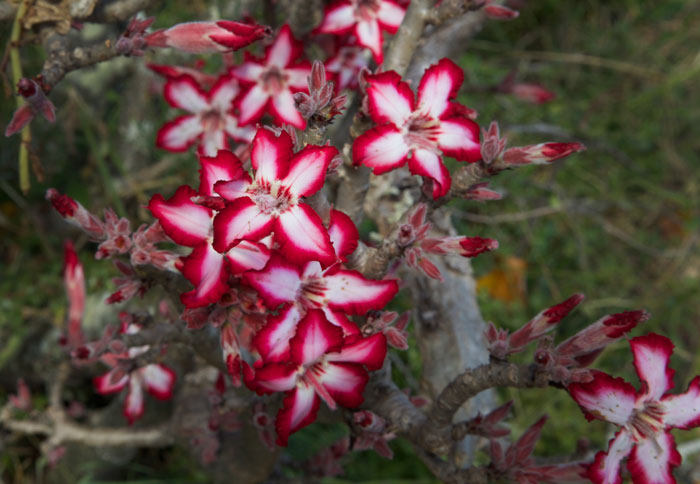A beautiful photo of a very late-blooming impala lily. Photo by Richard Burman