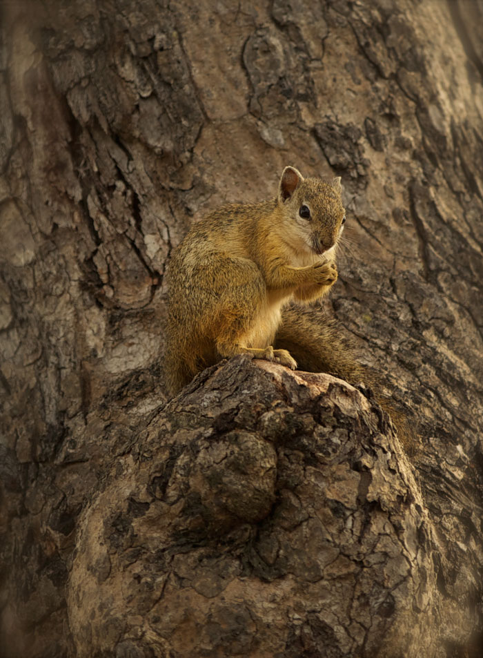 A tree squirrel nibbles on a nut while sitting on the stump of a marula branch. Photo by Richard Burman