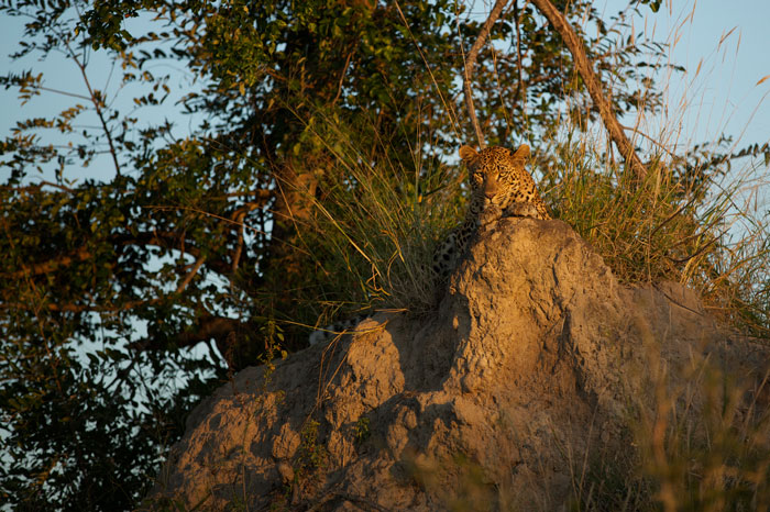 The Mashaba female enjoys the sunset from atop a termite mound before setting off on the evening's hunt. Photo by Richard Burman