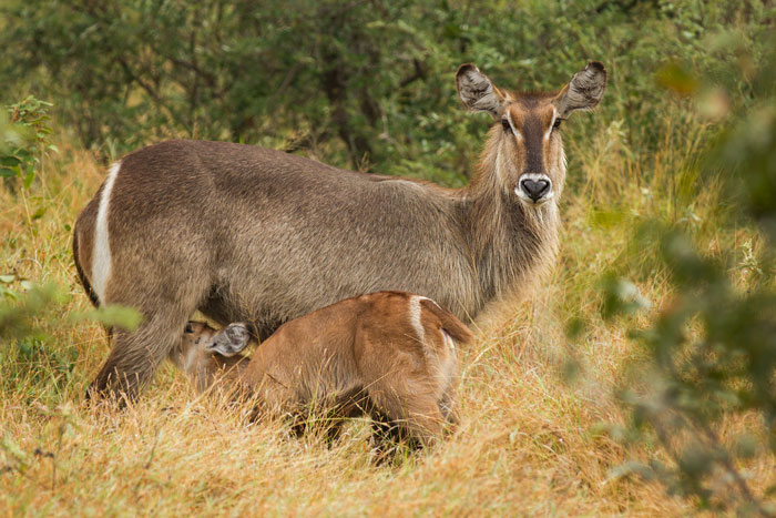A young waterbuck calf suckles from its mother. The colour difference is noticeable between the two, as younger antelope are often slightly more camouflaged during their early lives