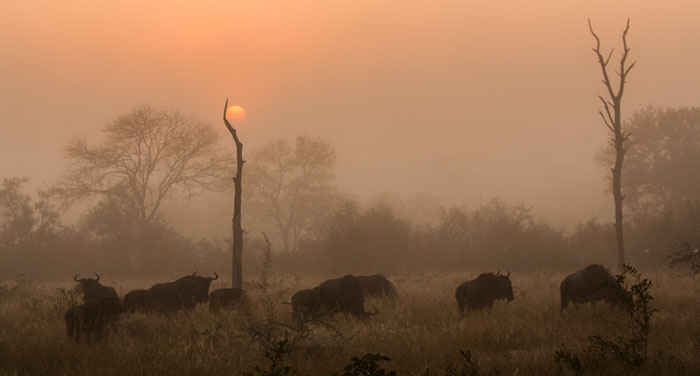 A misty sunrise over Sasekile Ingwe clearing, visible across the river from the Londolozi camps. A herd of wildebeest welcomes the dawn, thankful to have survived another night!
