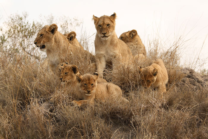 In The North, the Tsalala Pride reign supreme. Here, all 8 of the cubs from the two 2011 litters stand guard on a termite mound, waiting for the return of their mothers.