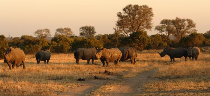 A crash of seven white rhino near a waterhole in the North known as Nanga Pan.