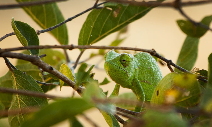 The magic of the bush is to be found in the little things just as much as in the big, and the North is full of these small wonders.. One of the most amazing spots I have ever seen, Freddy Ngobeni casually pointed out this flap-necked chameleon concealed deep in a red bushwillow.