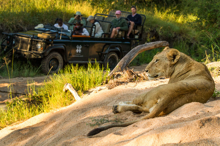 Over the last 13 years this lioness has provided wonderful viewing for Londolozi rangers, trackers and guests alike.