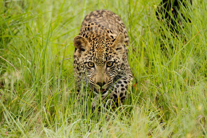 Vomba Cub stalking
