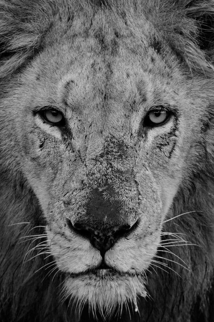 Scar nose Majingilane in Black and White