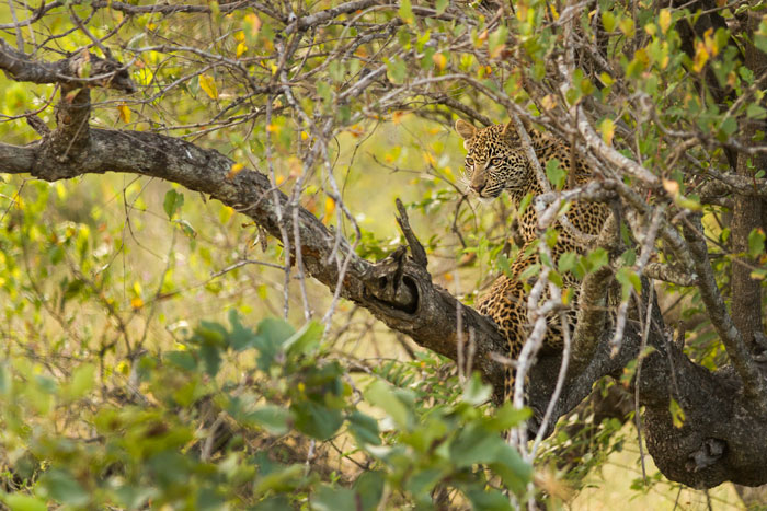 Play forms a large part of a leopard cub's development. Tree-climbing in particular hones skills and muscles that can mean the difference  between life and death in the future. - James Tyrrell